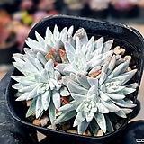 화이트그리니(자연군생) 7-354|Dudleya White gnoma(White greenii / White sprite)