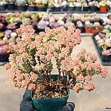 희성금 7-370|Crassula Rupestris variegata