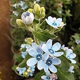 [진아플라워] 보석같은꽃  옥시페탈룸 베이비 블루 130 