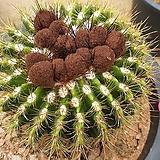 홍채옥선인장04098|Haworthia truncata