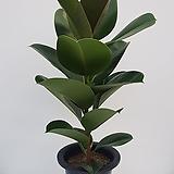 멜라니고무나무|