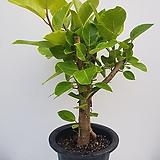 뱅갈고무나무|