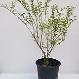 [단품할인]공조팝나무(수형이 멋진 아이~)|