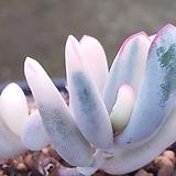 원종복랑금군생 Cotyledon orbiculata cv variegated