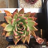 옛종자 비스트자이언트 Echeveria agavoides Prolifera