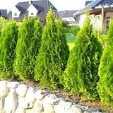 황금측백 분달이 상품♥피톤치드 나무♥황금 측백 측백나무|