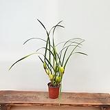 [진아플라워] 진한 바나나향꽃 황금 막실라니아 260 