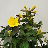 [진아플라워] 노오란 봄꽃 대형 개나리 자스민 320 