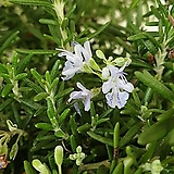 [진아플라워] 꽃이피는 클리핑 로즈마리 130 Rosemary