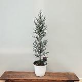 [진아플라워] 이탈리안 싸이프러스 나무 160 