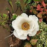 [진아플라워] 탐스러운 목단화 모란꽃 묘목 290 