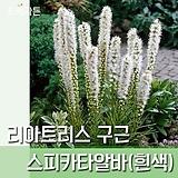야생화 꽃범의꼬리 포트 5개