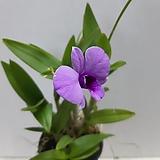 꽃이 예쁜~미니덴파레 |