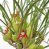 [무료배송]헤이즐넛향 막실라니아 향천 커피향나는꽃|