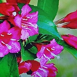 병꽃나무/빨강