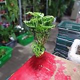 몬스테라오블리쿠아 소품 공기정화식물 상태 최상 25~45cm 59|