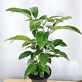 프로스트라타 페페 페페로미아 공기정화식물 한빛농원