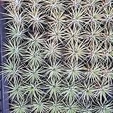 미니 이오난사 푼키아나 틸란 틸란드시아 공중식물 행잉플랜트 에어플랜트|