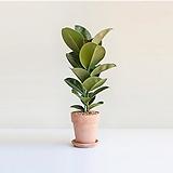 멜라니고무나무 이태리화분|