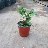 열매달린 레몬나무 소품 공기정화식물 과실수 15~30cm 49