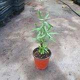 비타민나무 과실수 비타민 야생화 15~30cm 49|