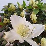 철쭉 화이트스타 연산홍|