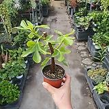 무화과나무 과실수 소품 공기정화식물 야생화 15~30cm 45|