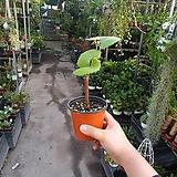 포도나무 캠벨 과실수 공기정화식물 야생화 15~25cm 35|