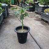 왜성파파야 중대품 공기정화식물 과실수 40~60cm 199|
