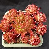 하나소후렌대품|Echeveria agavoides Prolifera