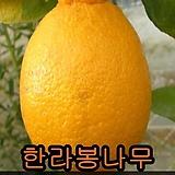 한라봉나무7치花盆결실주(키30~40cm)1그루
