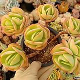 둥근잎비취후리데(중대품)00|Echeveria Peach Pride