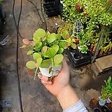 디시디아그린 기본 소품 공기정화식물 15~20cm 35|