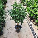 핫도그신종 녹보수 대품 해피트리 인테리어식물 80~120cm 399|Sedum dendroideum