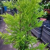 스노우 크로스트 수입무늬 율마 수입식물 공기정화식물 허브  50~80cm 119|