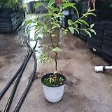 레몬유칼립투스 중품 공기정화식물 반려식물 40~60cm 99|