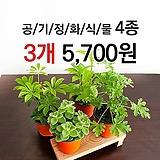 [특가할인] 구문초, 홍콩 야자, 장미 허브, 야래향 /소형 1+1+1 / 중형 1+1|