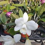 백설공주~카틀레아 |sedum spathulifolium