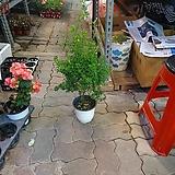 목대 애니시다 중품 공기정화식물 인테리어식물 40~60cm 119|