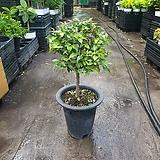 아기별 자스민 외목대 중대품 공기정화식물 야생화 반려식물 40~60cm 299|