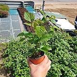 복분자 나무 열매 야생화 과실수 반려식물 공기정화식물 15~30cm, 35|