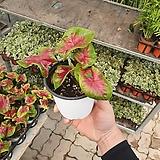 칼라데아레드포인트 소품 수입식물 신상품 10~20cm|