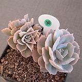 양로변이|Echeveria peacockii subsessilis