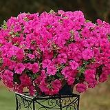 사피니아-핑크 5포트 묘종 8cm포트묘|