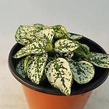 신품종피토니아(green)