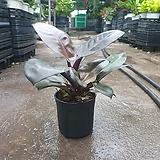 필로덴드론 블랙카디날 소중품 공기정화식물 수입식물 20~30cm 59|