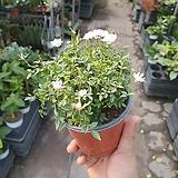애기찔레 야생화 공기정화식물 반려식물 10~25cm 35|