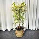 실내인테리어 공기정화식물 송오브인디아|