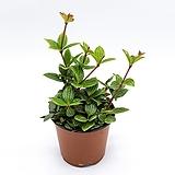 줄리아페페|Echeveria cv.Jyulia