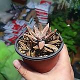 기와와송 소품 다육이 다육식물 선인장 공기정화식물 10~20cm 25|
